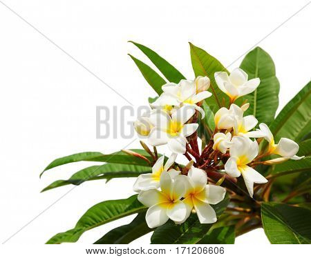 Branch of tropical white flowers (Plumeria) isolated on white background.