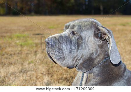 Great Dane on a fall grass field watching something carefully