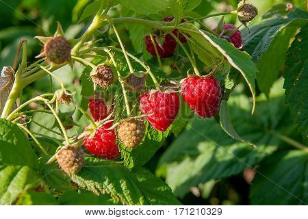 Close Up Of The Ripe And Unripe Raspberry In The Fruit Garden. Growing Natural Bush Of Raspberry. Br