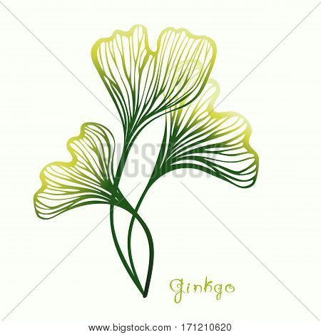 Three Ginkgo Biloba leaves with title. Sketch for traditional medicine, gardening or cooking design. Vector illustration.