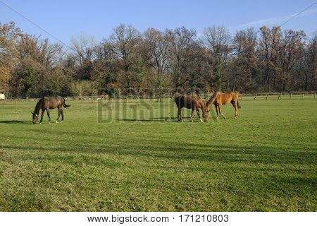 Monza (Brianza Lombardy Italy): horses at pasture into the Park in november