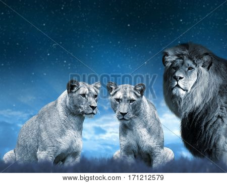 Lion and lioness on the savannah in the background night sky.