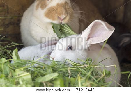 White rabbits in a hutch, eating grass