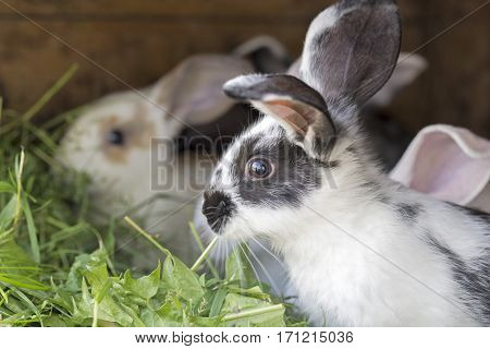 Variegated rabbits in a hutch, eating grass