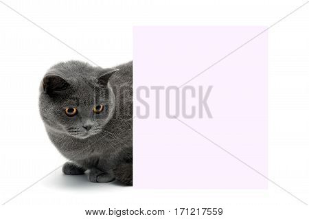 beautiful cat sitting behind a banner on a white background. horizontal photo.