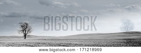 Wheat field with bare trees in Canadian Prairies Mankota Saskatchewan - minimalistic picture