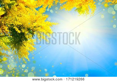 Mimosa Spring Flowers Easter background. Blooming mimosa tree over blue sky. Yellow flower border art design with sun