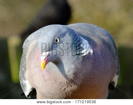 Close up of wood pigeon showing its subtle coloration