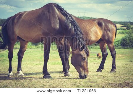 Majestic graceful horses in meadow field. Tranquil countryside scene.
