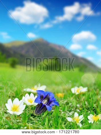 Gentian blooming on a mountain meadow in the Swiss Alps.