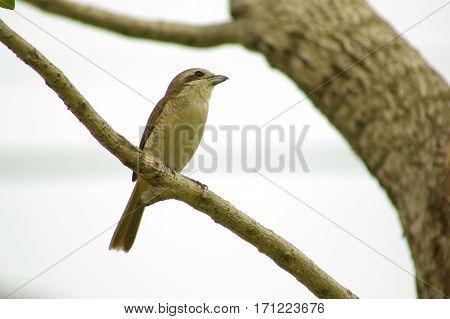 Brown Shrike bird in Thailand winter visitor