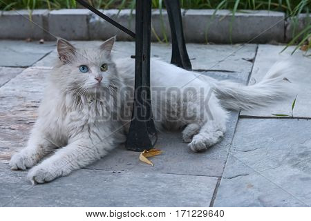 Homeless white cat with beautiful different colored eyes: blue and green lying under bench on the street