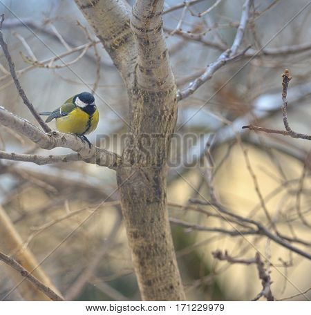 great tit on tree brunch in winter time