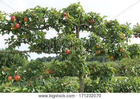 A Lovely Crop of Apples on an Espalier Fruit Tree.
