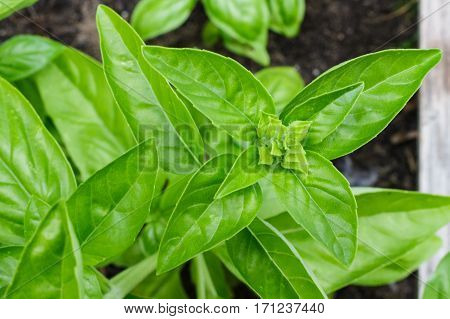 Flavorful sweet savory Genovese basil growing organically in a raised bed garden. Ready for harvesting.