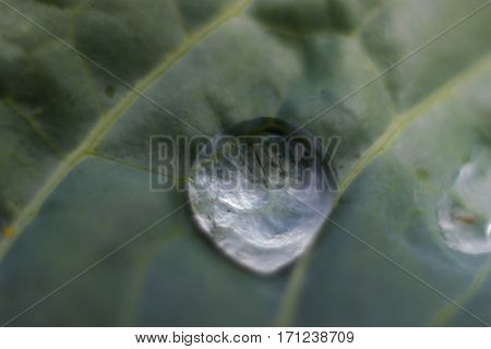 A collard green leaf with water droplet growing organically in a raised bed garden.
