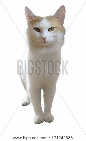 White cat isolated on white with Clipping Path