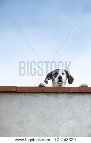 Beautiful puppy dog waits for the return of his master overlooking the balcony