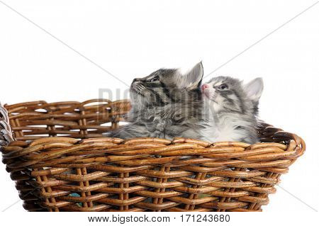 kittens in basket on white background