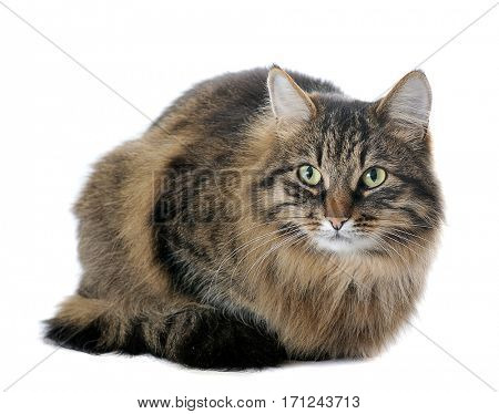 cat isolated on white background