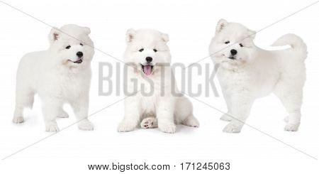 Studio shot of a beautiful Samoyed puppy dog isolated on white