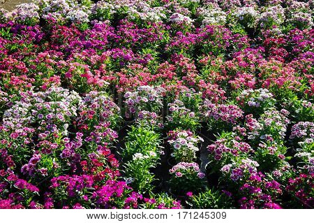 Colorful Carnation flowers lines in sunlight can use as background