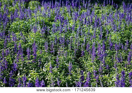Lavender flowers field in sunlight can use as background