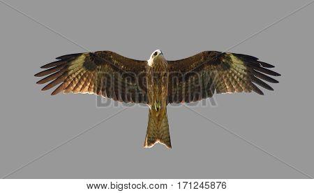 Flying hawk bird isolated on gray background.