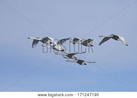 Whooper swans (Cygnus cygnus) family in flight with blue skies in the background