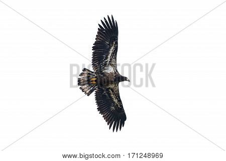 Juvenile Bald Eagle in Flight Vancouver BC Canada