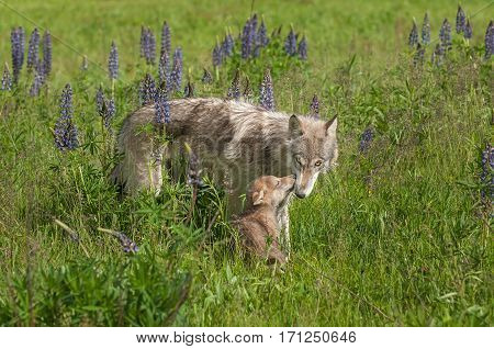 Grey Wolf (Canis lupus) Nuzzled by Pup - captive animals