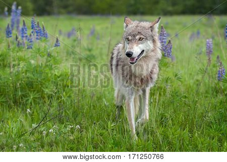 Grey Wolf (Canis lupus) Steps Forward With Ears Back - captive animal