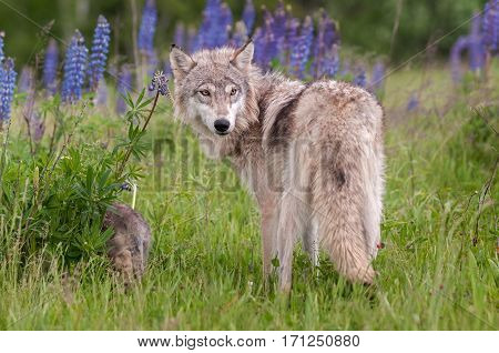 Grey Wolf (Canis lupus) Looks Over Shoulder - captive animals