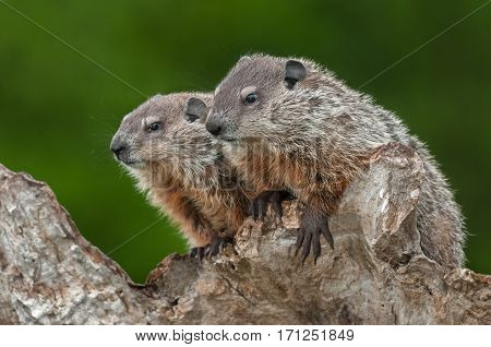 Young Woodchucks (Marmota monax) Look Left from Atop Log - captive animals