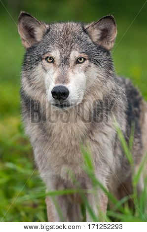 Grey Wolf (Canis lupus) Stands in Grass - captive animal