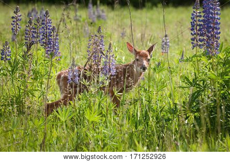 White-Tailed Deer Fawn (Odocoileus virginianus) Behind Lupin - captive animal