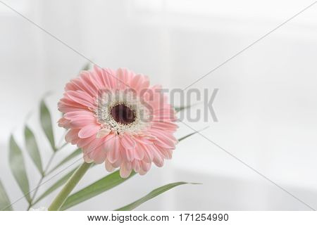 Gerbera Beautiful Flowers On A White Background.