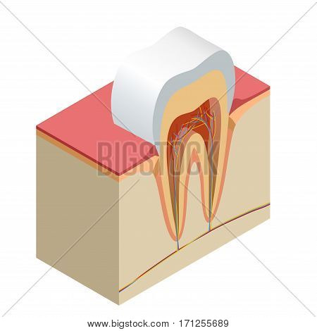 Isometric real tooth anatomy closeup cut away section model side view realistic vector illustration.