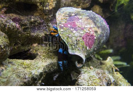 Electric Blue Hermit Crab hid in its shell colorful.