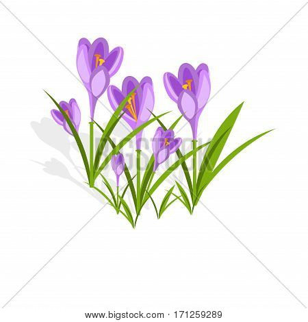 Purple crocuses in the snow vector. Spring violet crocuses on white. Floral nature spring illustration crocus flower. Spring crocus flower. Greeting easter card crocus flower. Beautiful crocus flower
