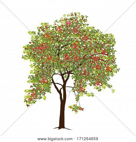 The apple-tree with apples in the summer with green leaves on a white background