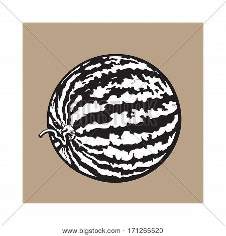 black and white Perfect whole striped watermelon with curled up tail, sketch style vector illustration isolated on background. Realistic hand drawing of whole ripe watermelon