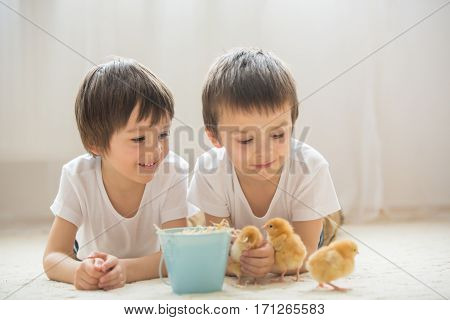 Two Sweet Little Children, Preschool Boys, Brothers, Playing With Little Chicks At Home