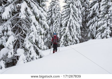Man Traveler Goes In Snowshoes Among Snow Covered Fir Trees