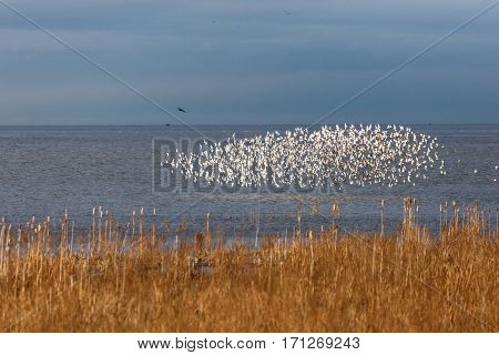 a shape-shifting cloud formed by a huge flock of Dunlin chasing by eagle in Delta BC Canada