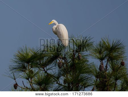 A great white heron standing on the top of a pine tree with pine cones