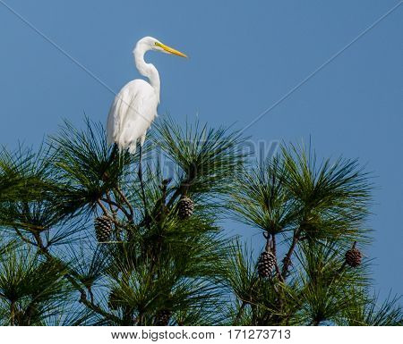 A great white heron posing on the top of a pine tree with green needles and pine cones