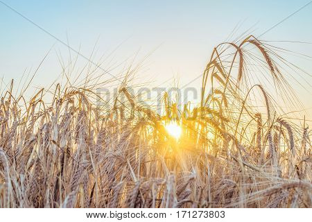 Agricultural background with ripe spikelets of rye in the golden rays of the low summer sun backlight. Rural scene with limited depth of field.