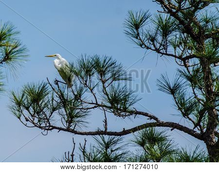 A great white heron with one foot forward on a branch while standing in a tree