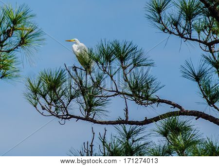 A great white heron standing on a branch of a pine tree